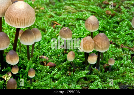 The Netherlands, Winterswijk, Autumn, mushrooms, fungus. - Stock Photo