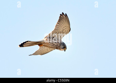 The Netherlands, Nijmegen, Common Kestrel, Falco tinnunculus. Falcon family. - Stock Photo