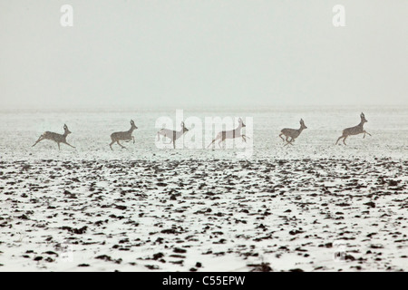 The Netherlands, near Warffum, Deer or roe. Male running in snow. Digital composition. - Stock Photo