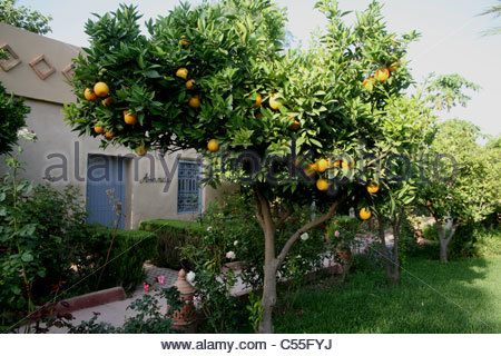 Orange tree in the garden of Dar Zitoune, rural riad in Taroudant Morocco - Stock Photo