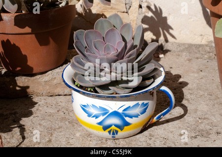Succulent plant growing in night potty - Stock Photo