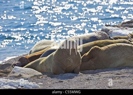 Herd of walrus (Odobenus rosmarus) basking on the coast, Svalbard Islands, Norway - Stock Photo