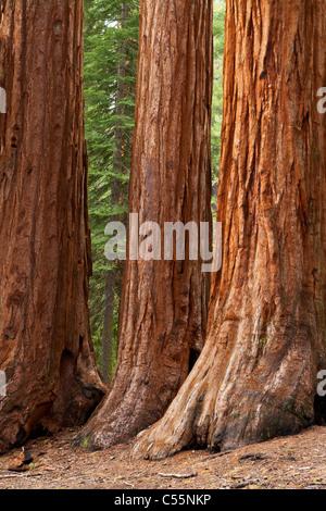 yosemite national park mariposa grove giant sequoia trees california usa - Stock Photo