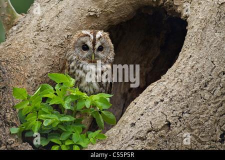 Tawny owl (Strix aluco) at its nest, Gloucestershire, England - Stock Photo
