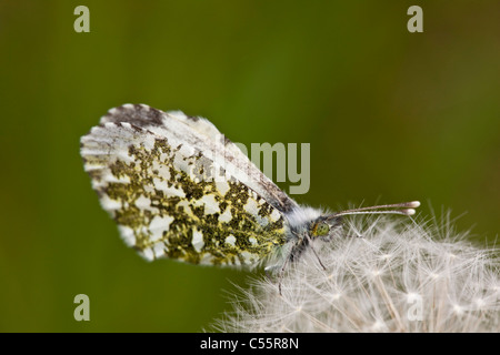 The Netherlands, Loon op Zand, Female Orange Tip butterfly, Anthocharis cardamines, on Dandelion pappus. - Stock Photo