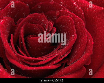 Closeup photo of a beautiful red rose with drops of water on its petals - Stock Photo