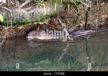 The Netherlands, Werkendam, De Biesbosch national park. Muskrat, Ondatra zibethicus. - Stock Photo