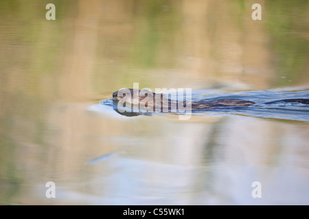 The Netherlands, Werkendam, De Biesbosch national park. Muskrat, Ondatra zibethicus, swimming. - Stock Photo