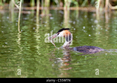 The Netherlands, Werkendam, De Biesbosch national park. Great Crested Grebe, Podiceps cristatus, with fish. - Stock Photo
