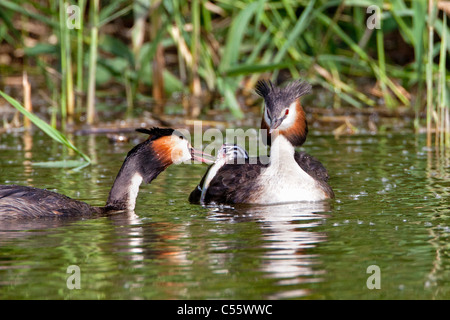 De Biesbosch national park. Great Crested Grebes, Podiceps cristatus. Male brings fish to young on the back of female. - Stock Photo