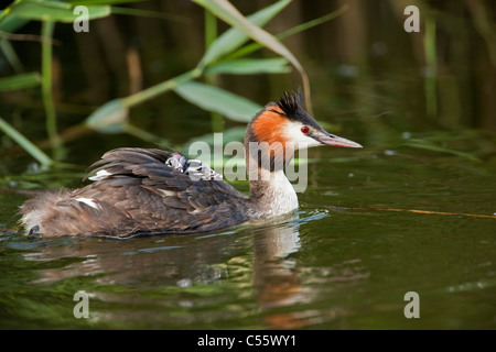 The Netherlands, Werkendam, De Biesbosch national park. Great Crested Grebes, Podiceps cristatus. Young on the back - Stock Photo