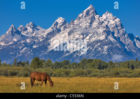 USA, Wyoming, Grand Teton National Park, Horse grazing on field, snow capped Rocky Mountains in background - Stock Photo