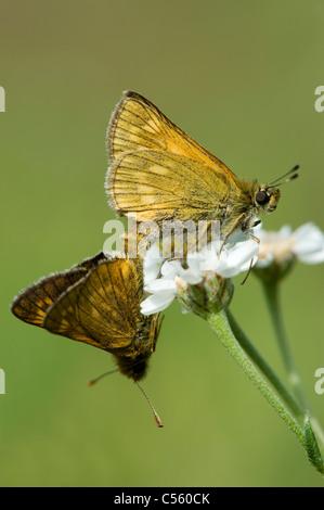 Mating pair of Large Skipper (Ochlodes sylvanus) - Stock Photo