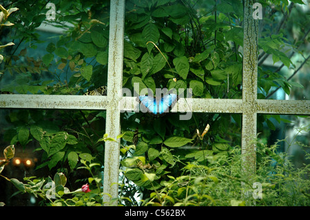 A butterfly lands on the window of a butterfly house in the Bellagio Conservatory and Botanical Gardens. - Stock Photo