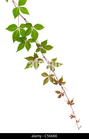 Autumn vine isolated on white background - Stock Photo
