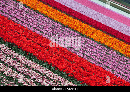 The Netherlands, Vogelenzang, Flower and tulip fields. - Stock Photo