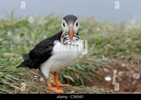 Atlantic Puffin, Fratercula arctica. With Sandeels in mouth. On Lunga in the Treshnish Isles, Scotland, UK. - Stock Photo