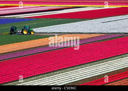 The Netherlands, Egmond, Flower and tulip fields. - Stock Photo