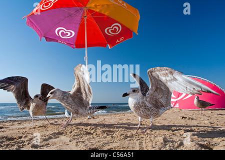 The Netherlands, Zandvoort, Seagulls on beach under parasol. - Stock Photo