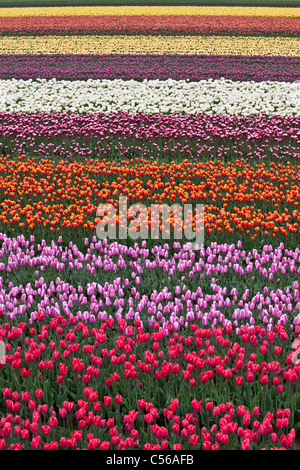 The Netherlands, Egmond, Tulip fields. - Stock Photo