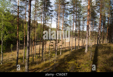 Finnish esker landscape with young pine ( pinus sylvestris ) forest and swamps between esker ridges , Finland - Stock Photo