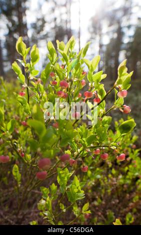 Close Up Of Wild Lowbush Blueberry Vaccinium