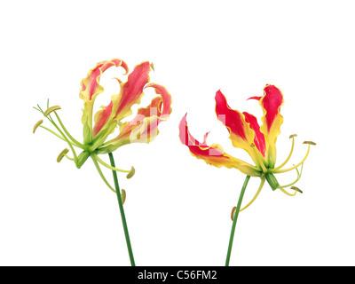 Gloriosa flowers isolated - Stock Photo