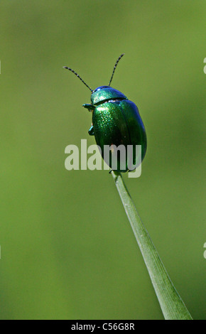 Mint Leaf Beetle, Chrysolina menthastri, Chrysomelidae, Coleoptera. UK. Often found near water on reeds and other - Stock Photo