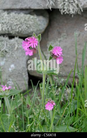 Red Campion: Silene dioica. (Shetland form) Shetland, Scotland, UK - Stock Photo