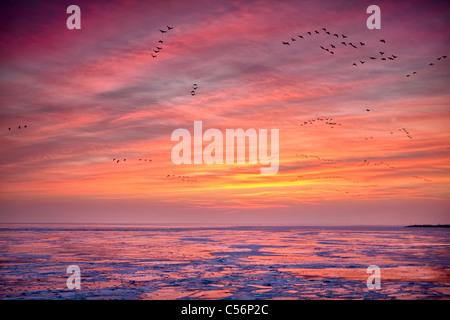 The Netherlands, Oosterdijk, Winter, snow, view on frozen lake called IJsselmeer. Sunrise. Geese foraging. - Stock Photo