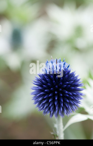 Echinops ritro veitchs . Globe thistle flower in an English garden - Stock Photo