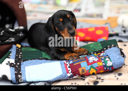 Miniature short haired Dachshund puppy - Stock Photo