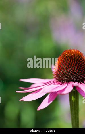 Echinacea purpurea 'magnus' coneflower - Stock Photo