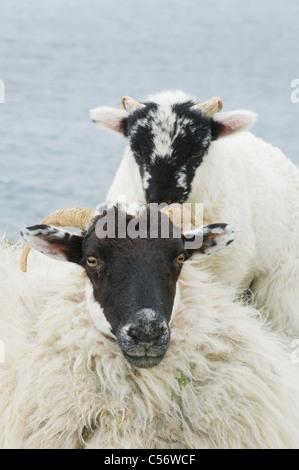 Black-faced Sheep and Lamb, Dingle Peninsula, Western Ireland - Stock Photo