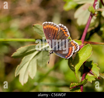 Brown Argus Butterfly Aricia agestis female with proboscis partly extended   Mendips Somerset - Stock Photo