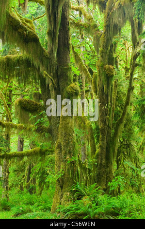 Moss-covered Bigleaf Maples, Temperate Rainforest, Hoh River Valley, Olympic National Park, Washington - Stock Photo