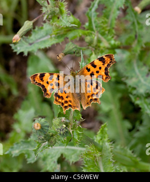 Comma butterfly Polygonia c-album at rest on Sow Thistle leaves Somerset - Stock Photo