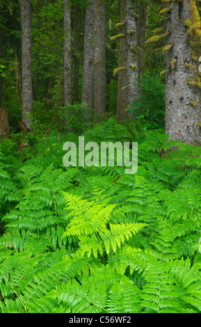 Bracken Ferns and Sitka Spruces, Temperate Rainforest, Hoh River Valley, Olympic National Park, Washington - Stock Photo