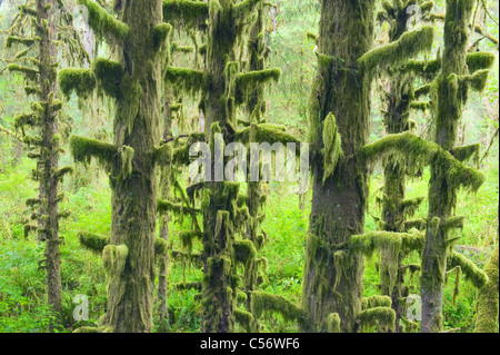 Temperate Rainforest, Hoh River Valley, Olympic National Park, Washington - Stock Photo