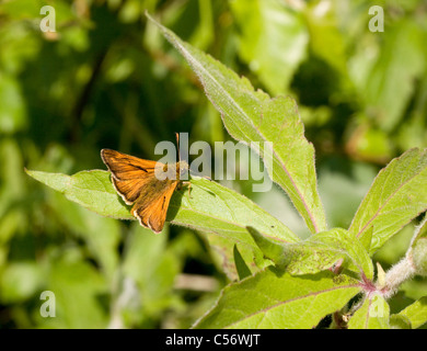 Male Large Skipper butterfly Ochlodes sylvanus on a leaf of Great Willow Herb - Stock Photo
