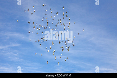 Large flock of racing pigeons just after release - Stock Photo