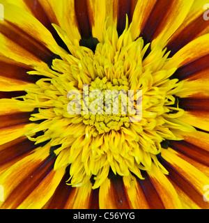A macro image of Gazania 'Tiger Stripes' or treasure flower from Daybreak series - Stock Photo