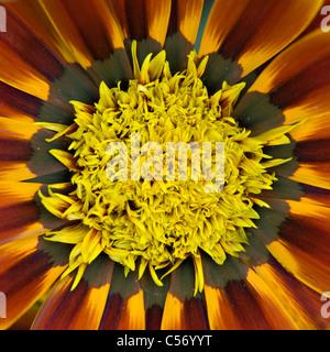 A macro image of Gazania 'Tiger Stripes'  or treasure flower, Daybreak series - Stock Photo