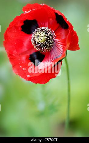 Ladybird poppy - Papaver commutatum - Stock Photo