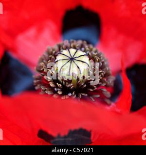 Ladybird poppy - Papaver commutatum