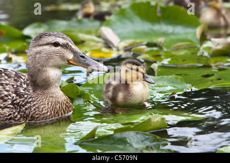 The Netherlands, 's-Graveland, Young ducks and mother in pond. Ducklings. - Stock Photo