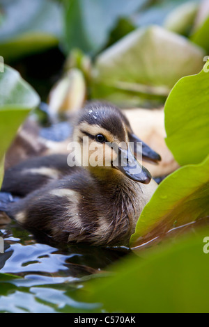 The Netherlands, 's-Graveland, Young ducks in pond. Ducklings. - Stock Photo