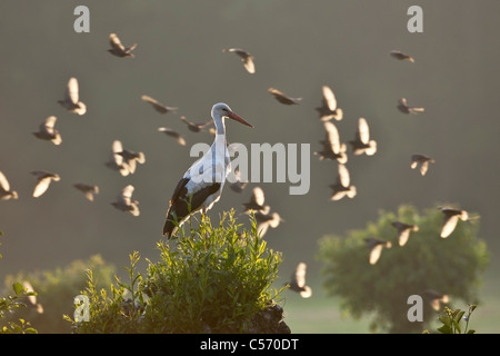 The Netherlands, 's-Graveland, Stork perched on branch. A flock of starlings flying in background. - Stock Photo