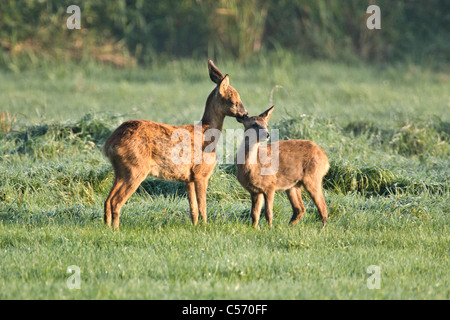 The Netherlands, 's-Graveland, Deer or roe licking eachother. - Stock Photo