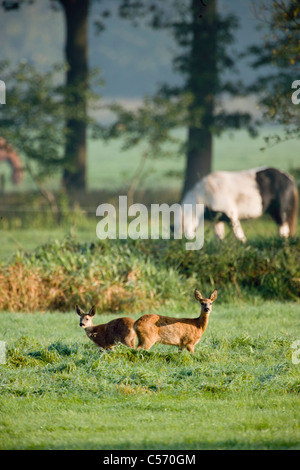The Netherlands, 's-Graveland, Couple of deer or roe with horse in background. - Stock Photo